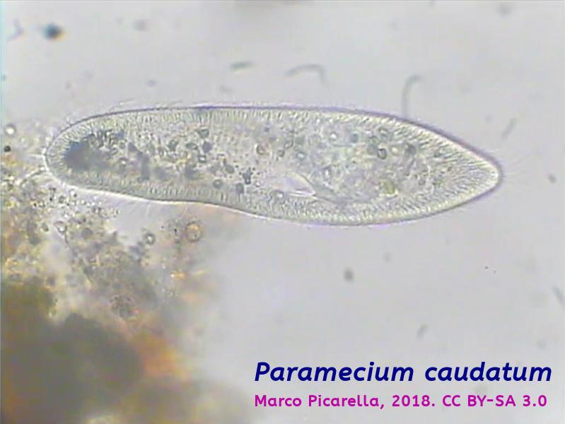 Paramecium caudatum - 001