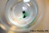 Un cianobatterio in movimento:  Geitlerinema splendidum (ex Oscillatoria splendida)